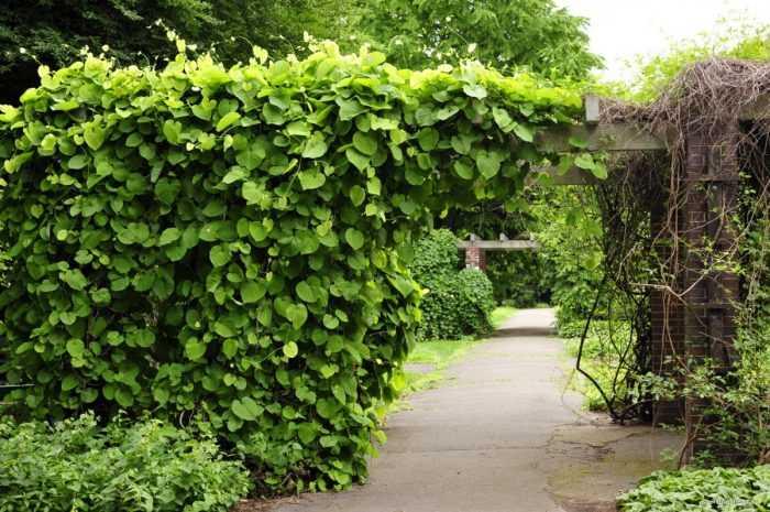 Быстрорастущие вьющиеся растения для забора и сада ☘️. Обзор многолетних и однолетних растений. Фото + инструкция с описанием